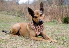 Shepherd mixed breed dog Royalty Free Stock Photos