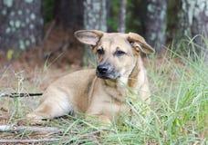 Shepherd mixed breed mutt puppy dog. Female Shepherd mixed breed mutt puppy dog. Outdoor adoption photo for Walton County Animal Shelter, Monroe, GA, USA royalty free stock photos
