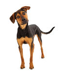 Shepherd Mutt Dog Standing Royalty Free Stock Images
