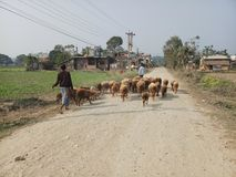 Shepherd. Nepal chitwan the shephard rise earlyand move their sheep to the ground for grazing. The husband is leading and the women is controlling the heard Stock Images