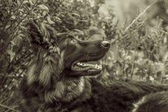 shepherd, niemiecka dba Zdjęcie Royalty Free