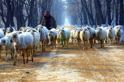 Shepherd On Country Road Royalty Free Stock Photography