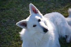 Shepherd Portrait. Stock Photos