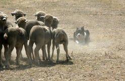 shepherd psów Obraz Royalty Free