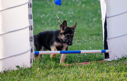 Shepherd pup and bar Royalty Free Stock Photo