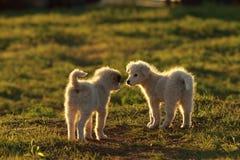 shepherd puppies playing in sunset light Royalty Free Stock Photos