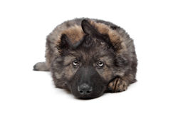 Shepherd puppy Stock Image
