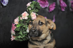 Shepherd puppy Stock Images