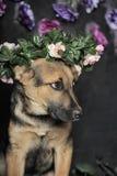 Shepherd puppy Royalty Free Stock Photo