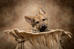 Shepherd puppy in a bag Royalty Free Stock Images