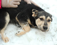 Shepherd puppy close up photo with human hands on snow. Background Stock Photo