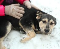 Shepherd puppy close up photo with human hands on snow. Background Stock Image