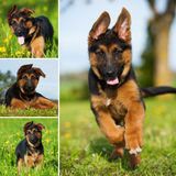 Shepherd puppy collage Stock Photography