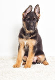 Shepherd puppy Royalty Free Stock Image