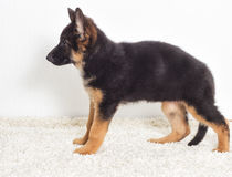 Shepherd puppy Royalty Free Stock Photography