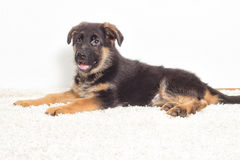 Shepherd puppy Royalty Free Stock Images