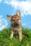 Shepherd puppy in the garden Stock Photo