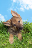 Shepherd puppy in grass Royalty Free Stock Photo
