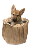 Shepherd puppy in a jute bag Royalty Free Stock Photography