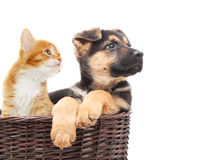 Shepherd puppy and kitten looking away. Sitting in a wicker straw basket on a white background isolated Royalty Free Stock Image