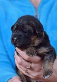 Shepherd puppy  named Arda ! Stock Image