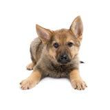 Shepherd puppy Stock Photos