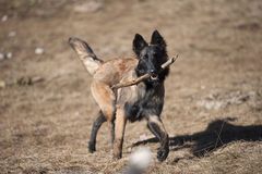 Shepherd puppy with a stick. Shepherd puppy playing and retrieving a stick. Belgian Shepherd long hair stock image