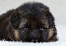 Shepherd puppy ! Stock Images