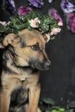 Shepherd puppy Royalty Free Stock Photography