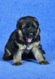 Shepherd puppy yawns ! Royalty Free Stock Photography
