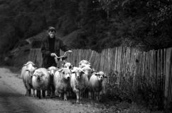 Shepherd pushing bicycle surrounded by sheep