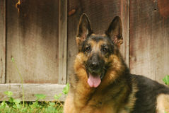 Shepherd at Rest. Purebred German Shepherd Dog lying dog in front of a barn Stock Images