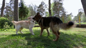 Shepherd and retriever. Shepherd and retriever play during hot summer day. They jump on each other to compare strength stock video footage
