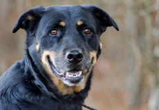 Shepherd Rottweiler mixed breed dog Royalty Free Stock Photography