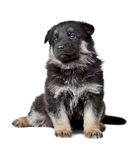 Shepherd`s dog black puppy Royalty Free Stock Photo