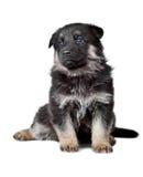 Shepherd`s dog black puppy Royalty Free Stock Photo