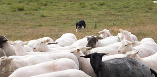 Shepherd's Dog Herding Sheep Stock Image