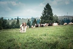 Shepherd`s dog on the pasture. In summer mountains royalty free stock photos