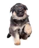 Shepherd`s dog puppy Royalty Free Stock Photography