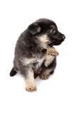 Shepherd`s dog puppy Stock Photography