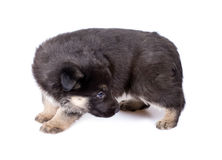 Shepherd`s dog puppy looking back Royalty Free Stock Photography