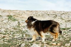 Shepherd`s dog walks in the mountains, close-up royalty free stock images