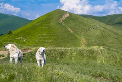 SHepherd's dogs. Shepherds dogs on carpathian mountains green hills royalty free stock photography