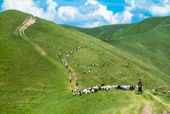 SHepherd's herd. Herd of sheeps in carpathian mountains Ukraine Stock Photo