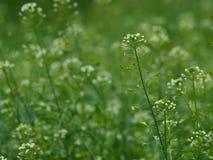 Shepherd's-purse - Capsella bursa pastoris. Close up of Capsella bursa-pastoris, known by its common name Shepherd's-purse . Medicinal plant in a small amount Royalty Free Stock Image