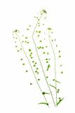 Shepherd's purse (Capsella bursa-pastoris). Flowering plant in front of white background Stock Images