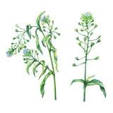Shepherd`s purse Capsella bursa-pastoris, flowering plant with white small flowers. Hand drawn watercolor painting on white background Royalty Free Stock Photos