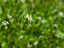 Shepherd`s-purse or Capsella bursa-pastoris flowers close-up, selective focus, shallow DOF.  Stock Photography