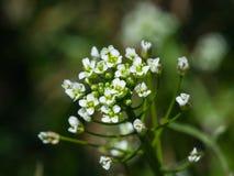 Shepherd`s-purse or Capsella bursa-pastoris flowers close-up, selective focus, shallow DOF.  Stock Images