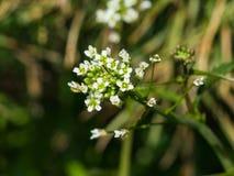 Shepherd`s-purse or Capsella bursa-pastoris flowers close-up, selective focus, shallow DOF.  Royalty Free Stock Photos